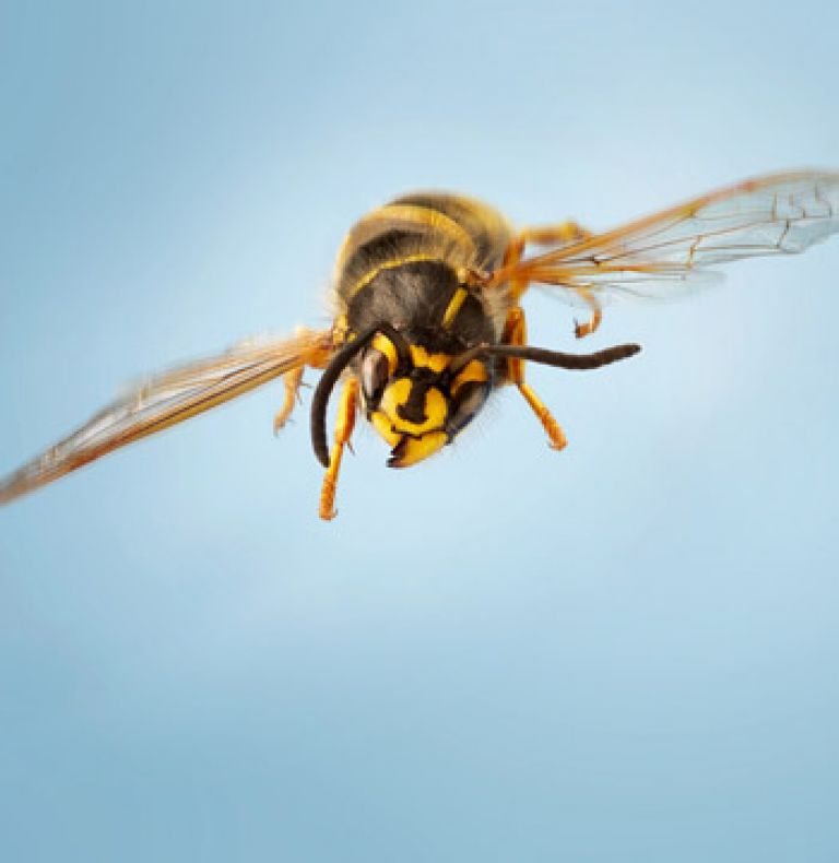 Biene Insekten