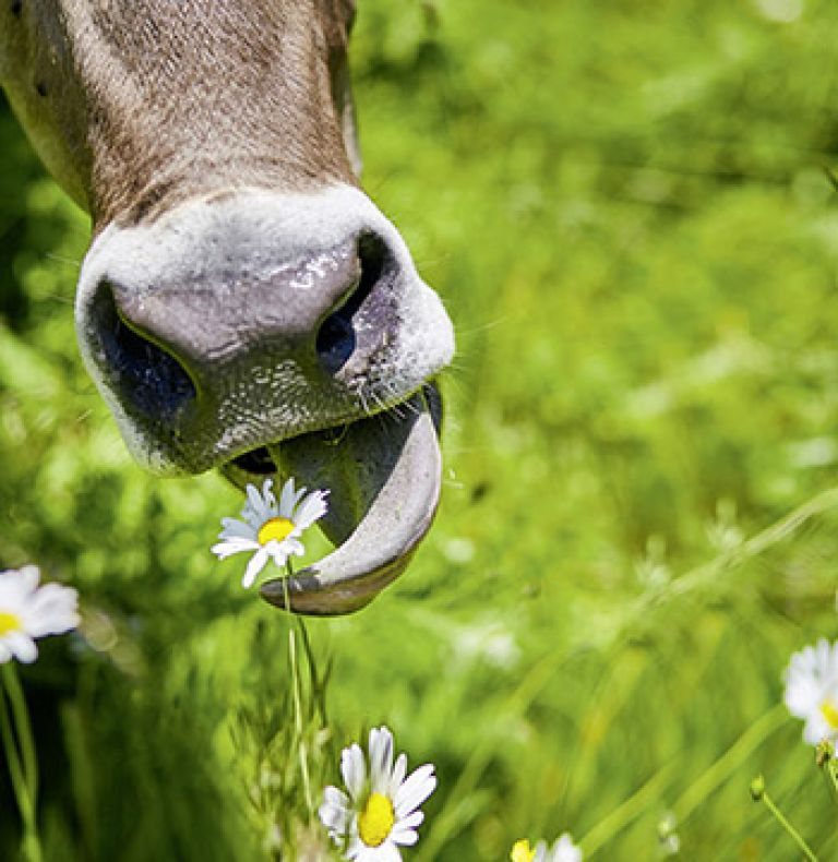 Pre- und Probiotika Kuh Wiese