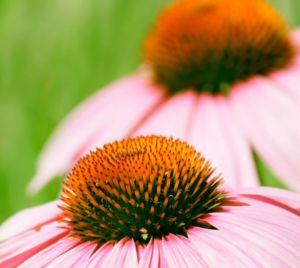 Wissenswertes über Echinacea